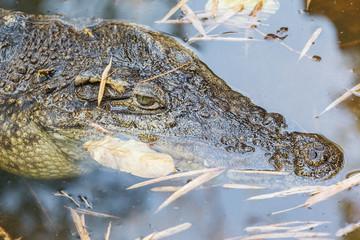 crocodile calm in freshwater