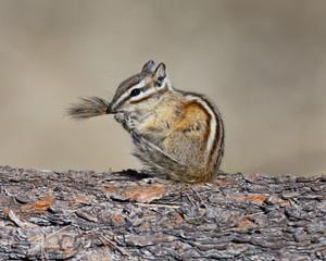Chipmunk grooming tail