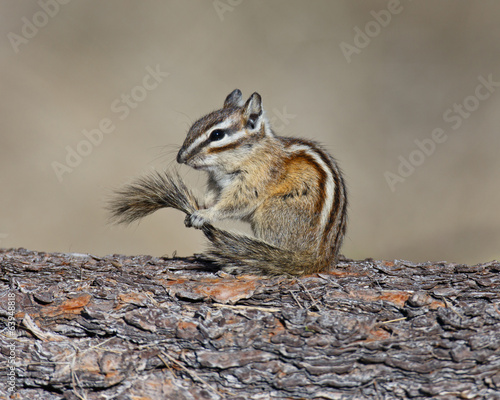 Chipmunk holding tail