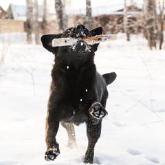 Ritriever Labrador
