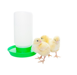 Chicks with Watering Container