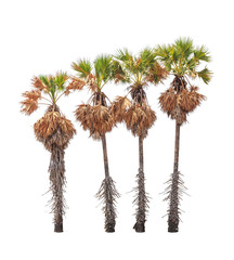 Four borassus flabellifer trees isolated on white background