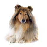 rough collie - 63951656