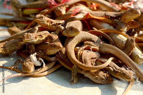 A lot iguana thailand for sale