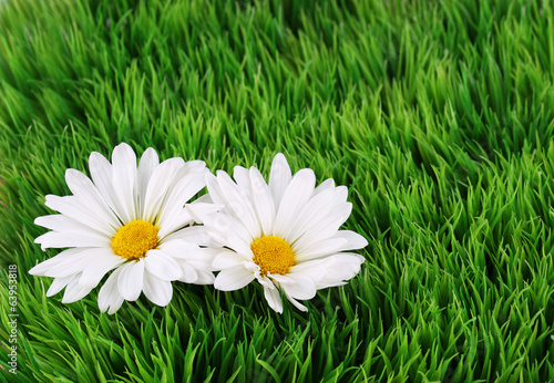 Camomile Flowers on green grass
