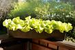 canvas print picture - Salat auf dem Balkon
