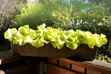 Salat auf dem Balkon