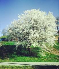 цветущая весна