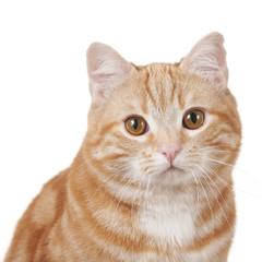 Rote Hauskatze schaut in die Kamera - Nahaufnahme