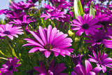 Fototapety Purple osteopermum African daisies close-up.