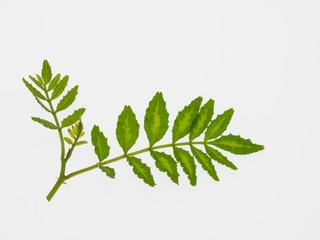 山椒の葉と新芽