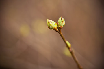 swollen buds on a branch of a small depth of field