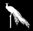 white peacock silhouette isolated on black