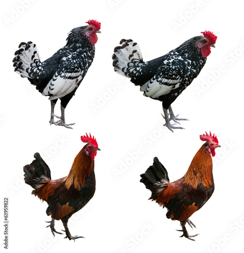 four roosters isolated on white background