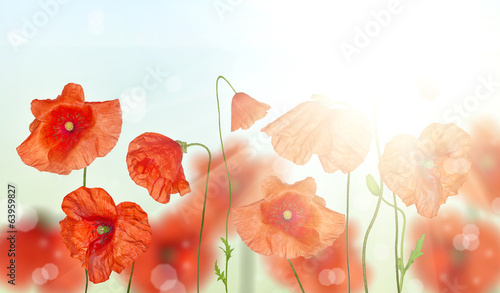 groop of red poppy flowers under sunlight
