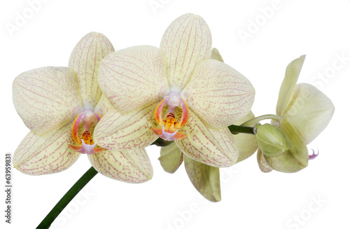 isolated fine light yellow orchid flower branch