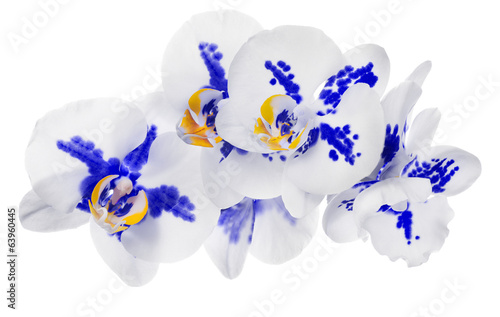 group of isolated orchids with blue spots
