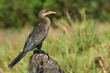 Long-Tailed Cormorant in profile on a perch