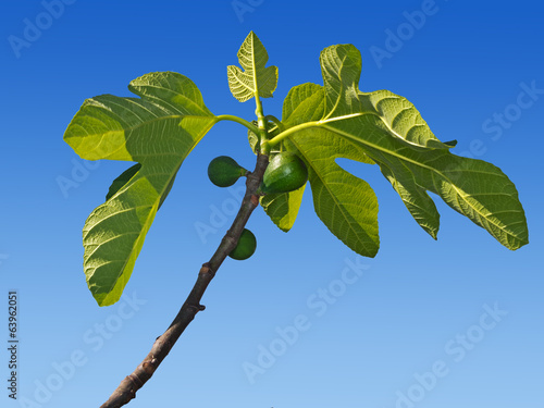 Green figs growing on the tree. Early spring.