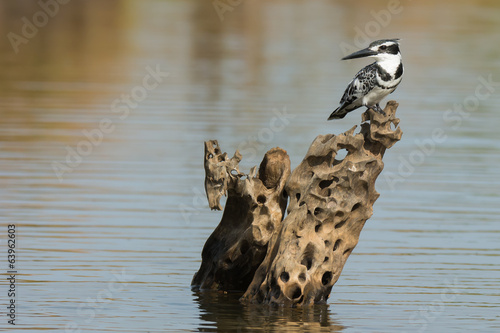 Pied Kingfisher (Ceryle rudis) on a cool wooden perch