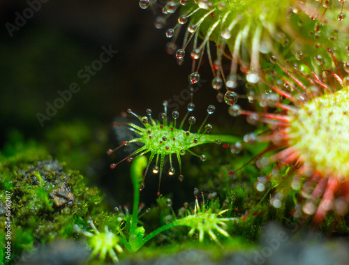 Tentacles of little Drosera aliciae (super macro 3.5:1)
