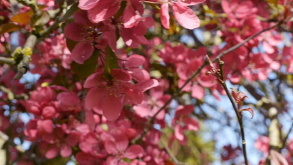 Flowering Cherry Blossom - With Camera Move