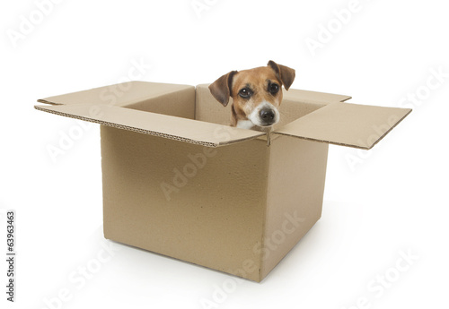 Little funny dog looks out of the box