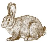 Fototapety vector engraving rabbit on white background