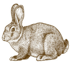 vector engraving rabbit on white background