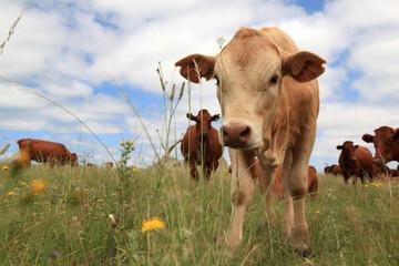 Bull calf and herd.