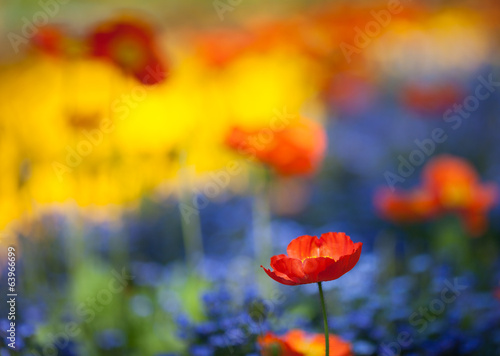 red poppy flowers in colorful flower field