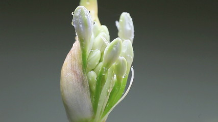 lily of the Nile ready to bloom