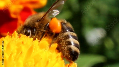 honeybee pollinated of flower
