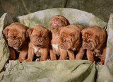 litter of puppies - 63969066