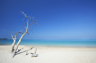 Dead tree on beautiful beach