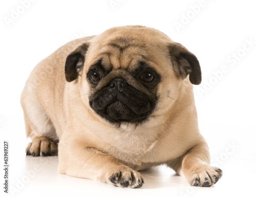 pug laying down