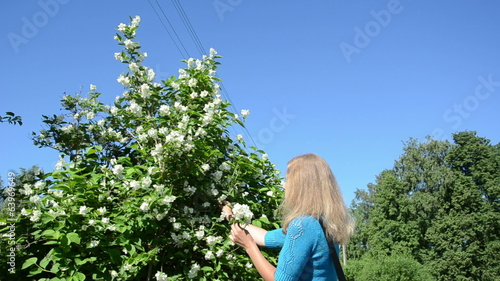 woman in blue pick jasmin bush white blooms