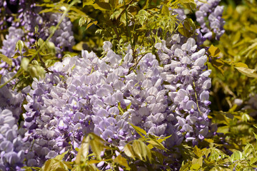 Spring in Milan, blossoming wisteria #06