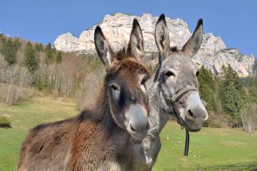 portraits d'ânes devant montagne