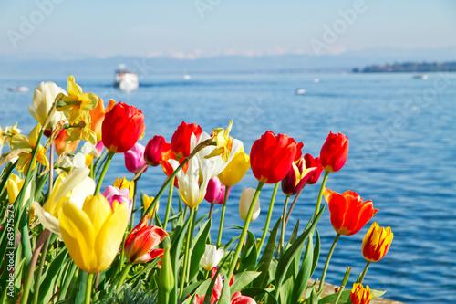Bunte Tulpen am Bodensee