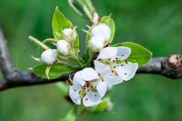 A branch of apple tree in bloom