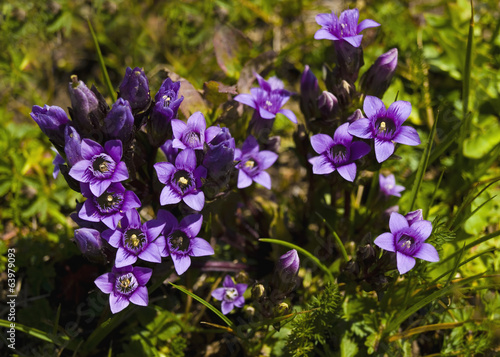 small purple mountain flowers in spring