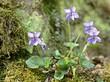 Hain-Veilchen (Viola riviniana)