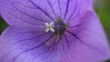 balloon flower macro