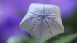 unopened balloon flower