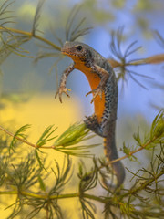 Egg laying Female  Alpine Newt