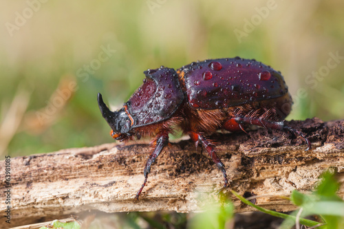 European Rhinoceros Beetle in Grass