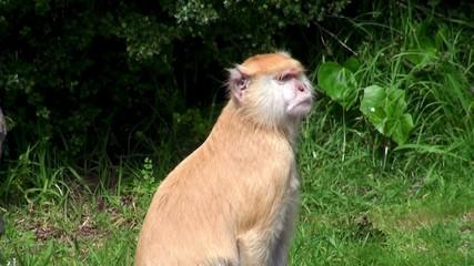 Patas Monkey (Erythrocebus patas),