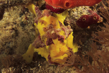 Clown Frogfish (Anglerfish)