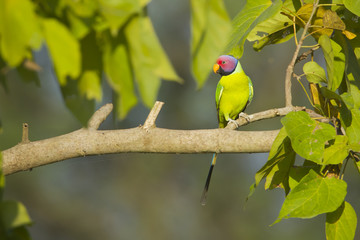 Plum-headed parakeet bird in Nepal